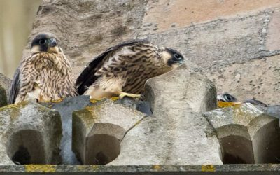 Watch the cathedral Peregrines